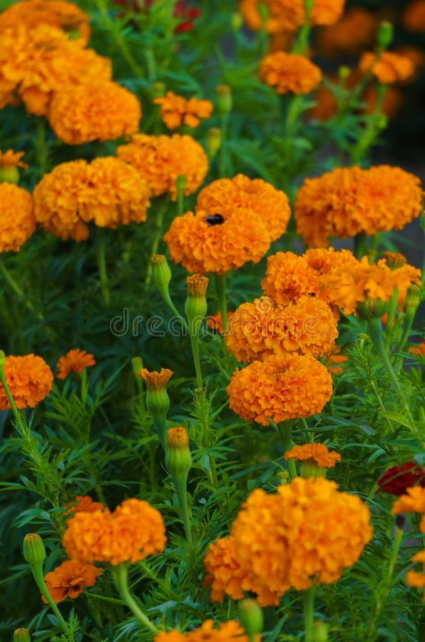 Orange marigolds bloomed in a flowerbed in a city park.  royalty free stock photos