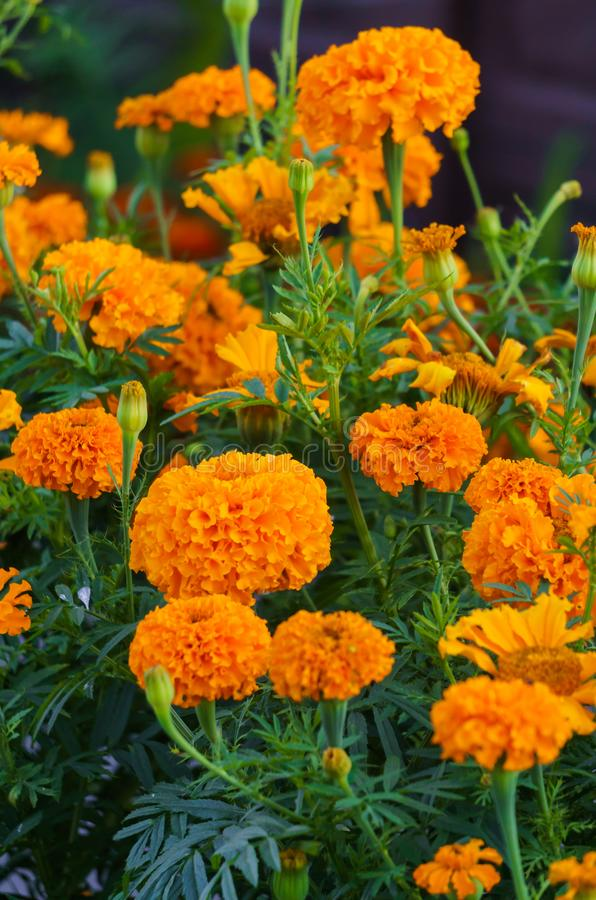 Orange marigolds bloomed in a flowerbed in a city park.  royalty free stock photography