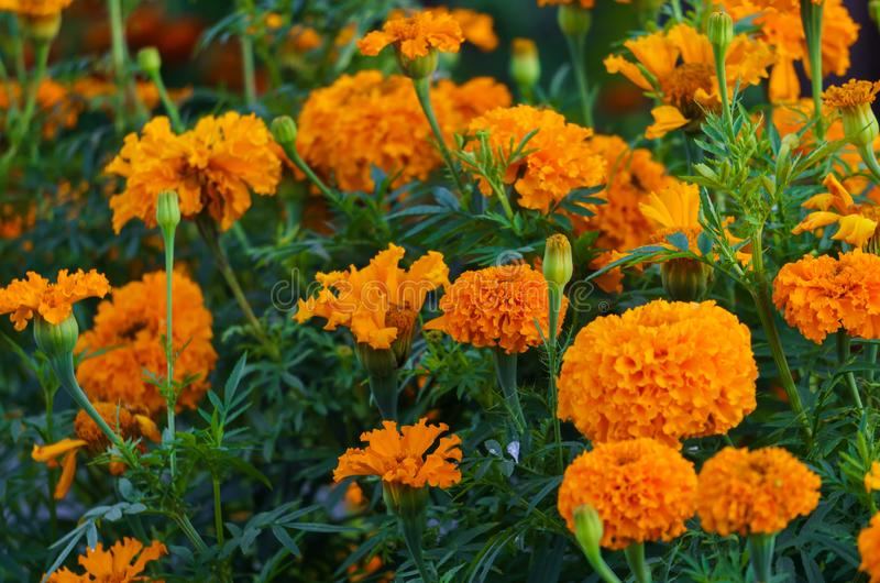 Orange marigolds bloomed in a flowerbed in a city park.  royalty free stock photo