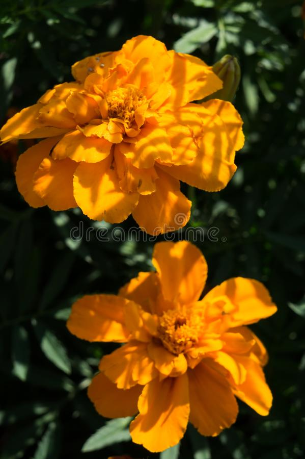 Orange marigolds in the flower bed close-up. Flower photo.  stock image