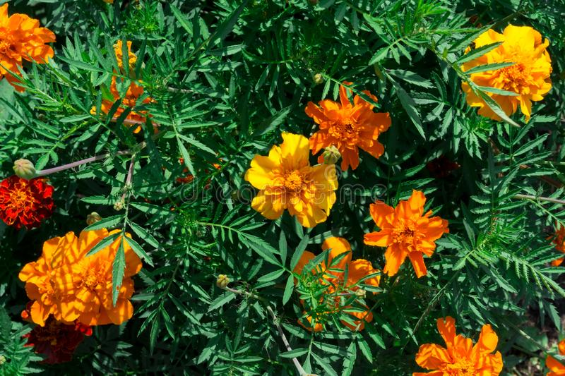 Orange marigolds on the flower bed. Flower photo background stock photo