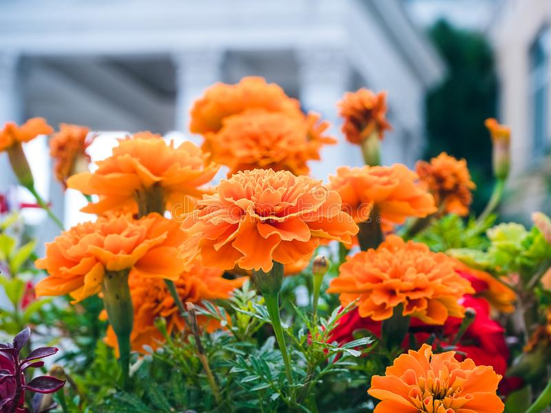 Marigolds in the flowerbed against the background of white columns close-up royalty free stock image
