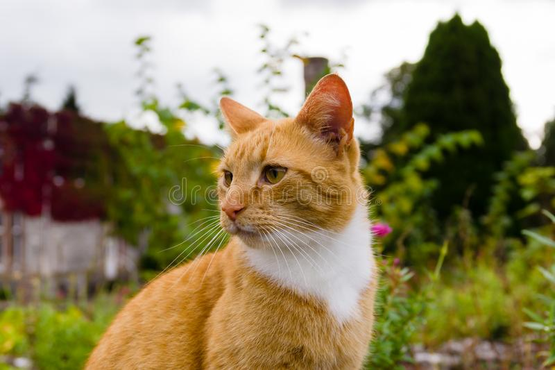 Orange Marmalade Cat. Nice portrait of a ginger or orange marmalade tabby cat enjoying some peace and quiet in his garden shot with shallow focus royalty free stock photos