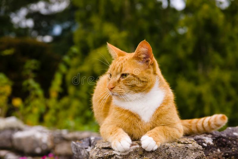 Orange Marmalade Cat. Nice portrait of a ginger or orange marmalade tabby cat enjoying some peace and quiet on a stone garden wall shot with shallow focus stock image