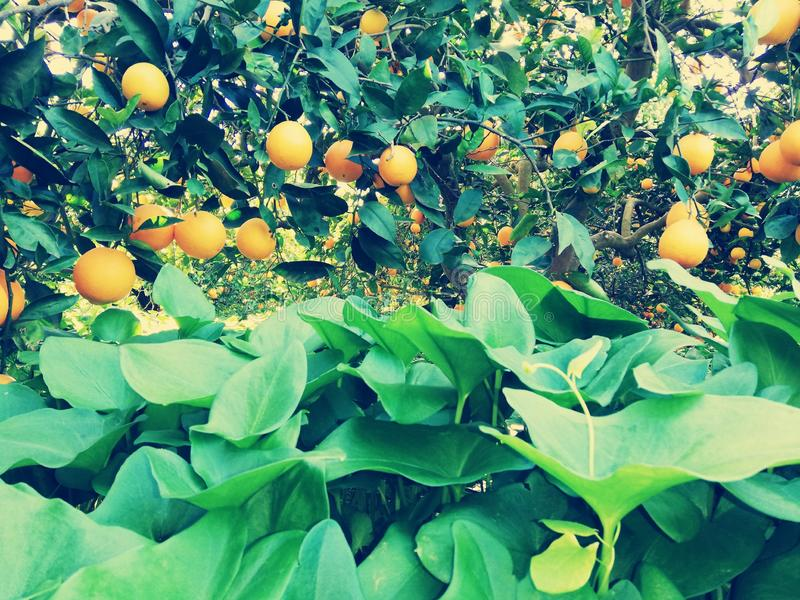Orange Marocko royaltyfria foton
