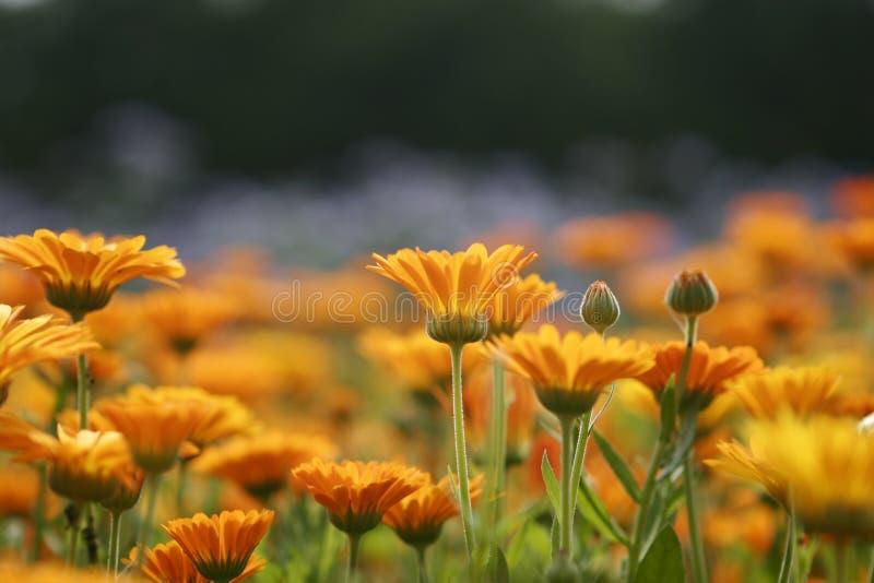 Orange meadow #2 stock photography