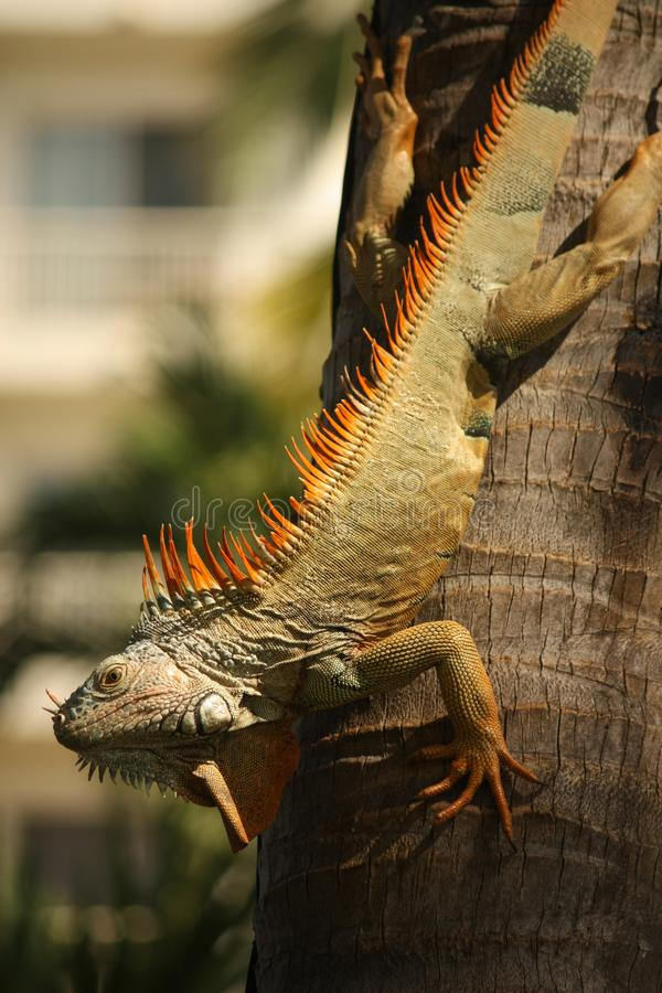 An Orange Mexican Iguana Descending a Palm Tree. stock images