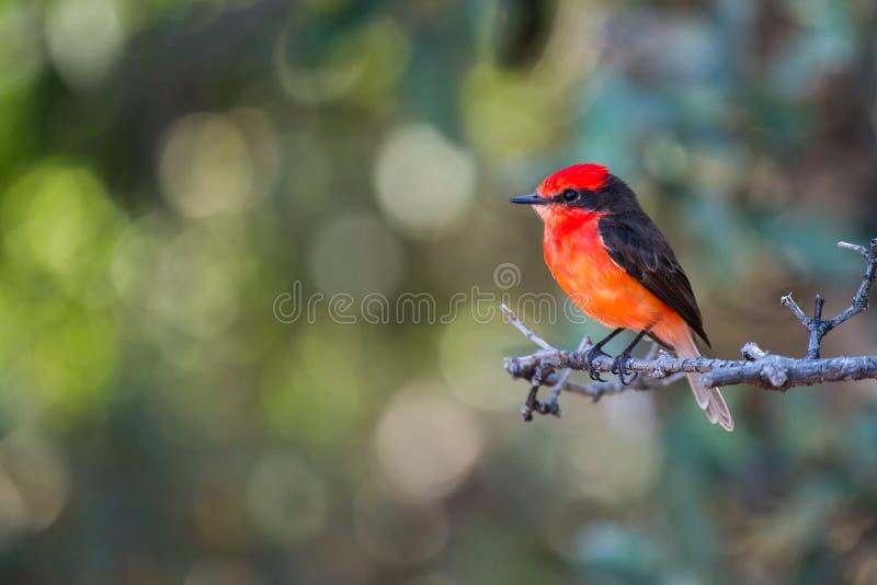 Orange mit Haube Vogel stockbild
