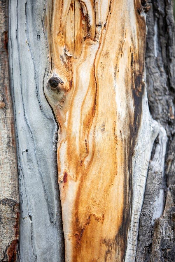 Orange modellträkorn på a sörjer trädet i Rocky Mountain National Park royaltyfri bild