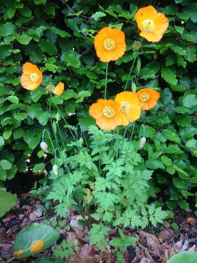 Orange Mohnblume lizenzfreie stockbilder