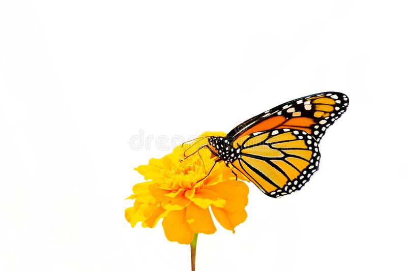 Orange monarch butterfly on flower isolated stock photography