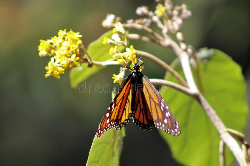 Orange monarch butterfly in migration stock photo