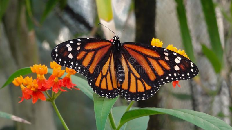 Orange Monarch butterfly on a yellow-red flower. An orange monarch butterfly on a yellow red flower with a blurred background royalty free stock image
