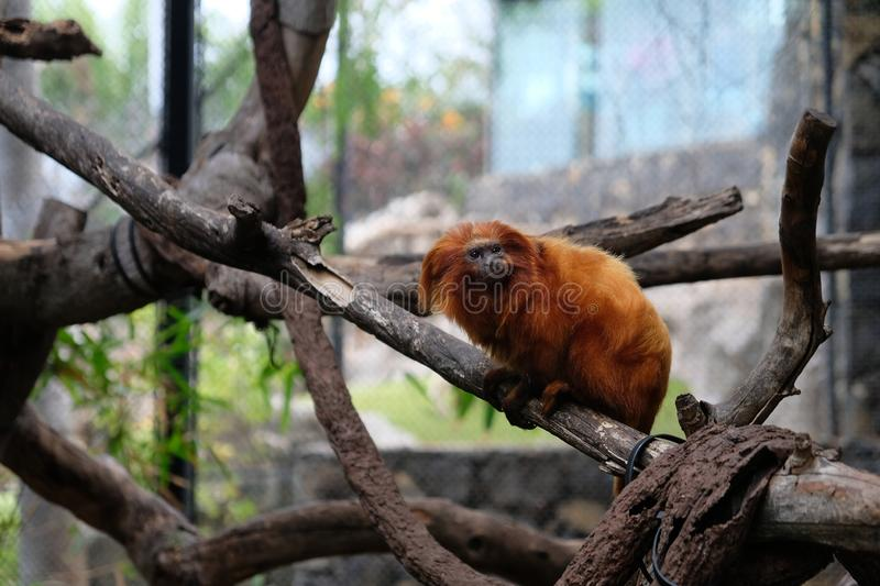 Orange monkey on a branch in captivity. Furry, zoo, wildlife, animal, primate, jungle, natural, head, rare, old, long, scared, moody, perched, starring stock photography
