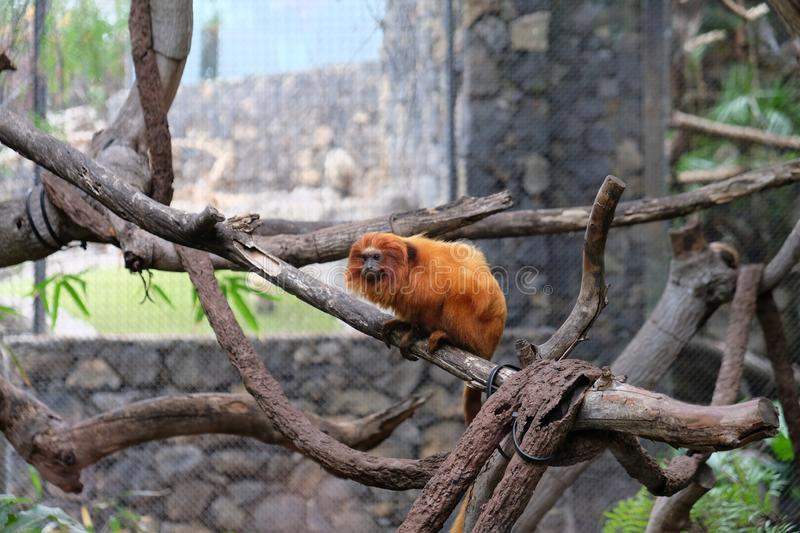 Orange monkey on a branch in captivity. Furry, zoo, wildlife, animal, primate, jungle, natural, head, rare, old, long, scared, moody, perched, starring stock image