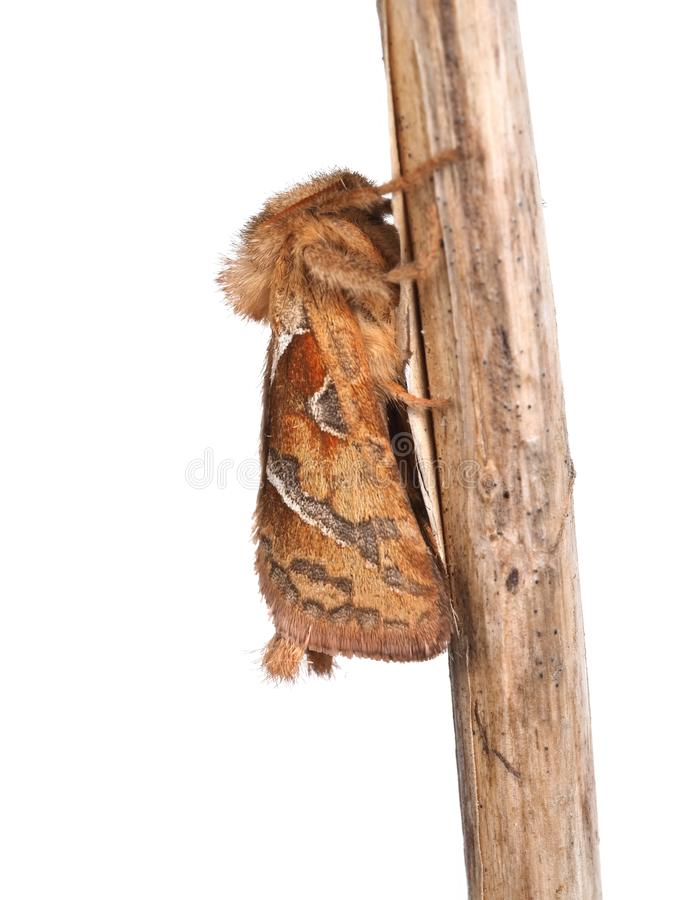 The Orange moth, Triodia sylvina, studio isolated on white background. With twig. The Orange moth, Triodia sylvina, studio isolated on white background. On twig stock photography