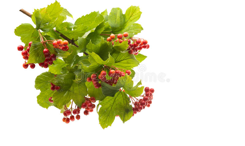 Orange mountain ash with green leaves. Isolated on white background royalty free stock photography