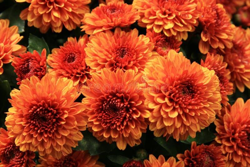 Orange mums stock photos