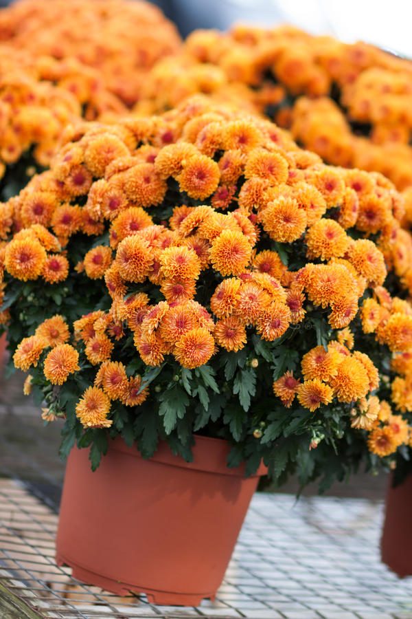 Orange mums stock photography image 34664442 - Potted autumn flowers ...