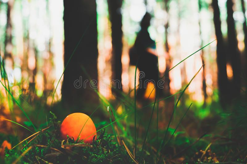 An orange mushroom amanita grows in the grass. In the foreground, and in the background a man searches for mushrooms in the morning forest among the pines. Warm stock photo