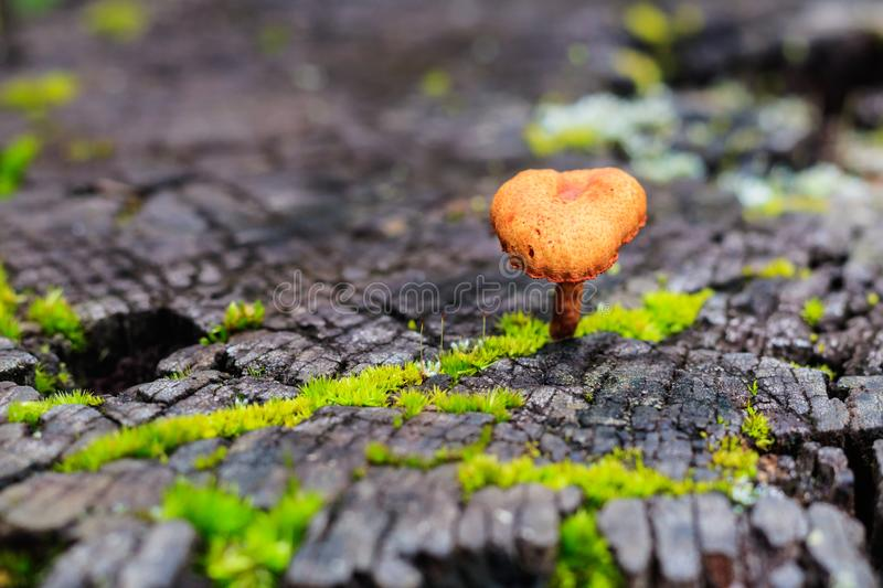 Orange mushroom on wood in rain forest, Thailand. Closeup and se. Lective focus royalty free stock image