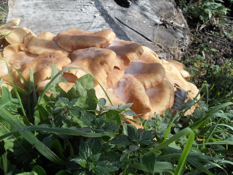 Orange mushrooms in Italy. Orange mushrooms edibles near a cut tree trunk in Italy royalty free stock photography