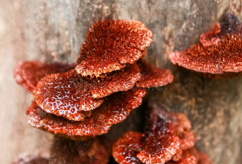 The orange mushrooms on logs. Food forest royalty free stock image