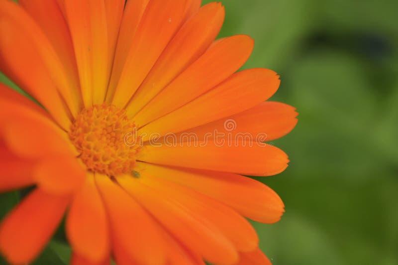 Orange mycket liten blomma arkivfoton