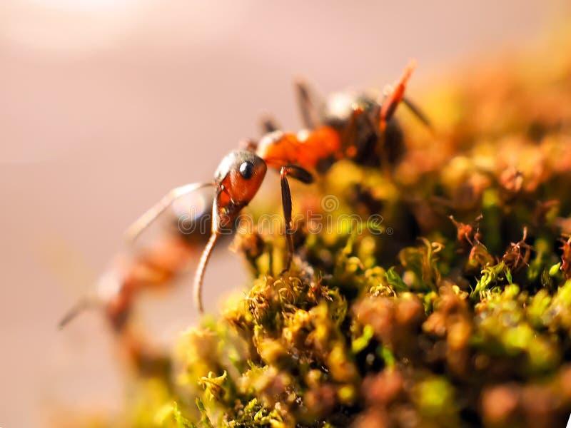 Orange myror på en mossa som tätt fotograferas royaltyfri fotografi