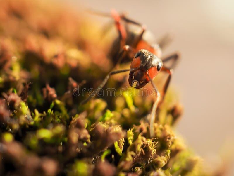 Orange myror på en mossa som tätt fotograferas arkivfoto