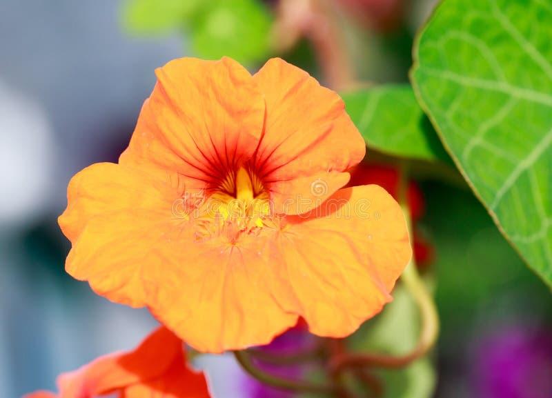 Orange Nasturtium flower in full bloom royalty free stock photo