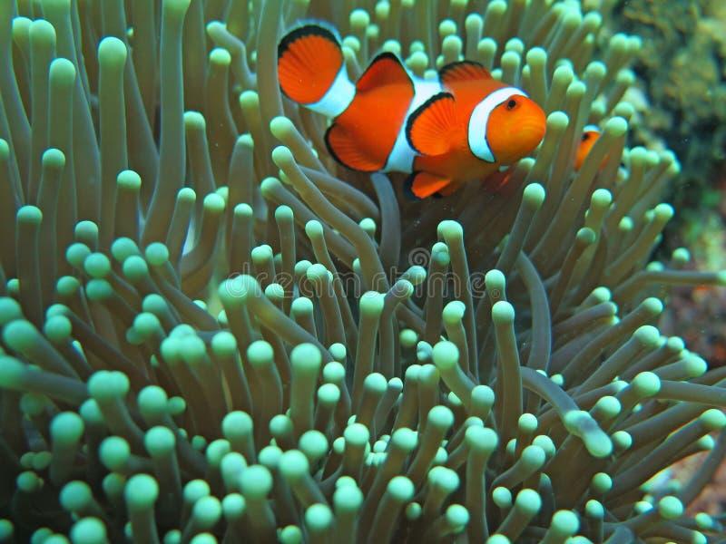 Orange nemo clown fish in the beautiful vivid green anemone stock image