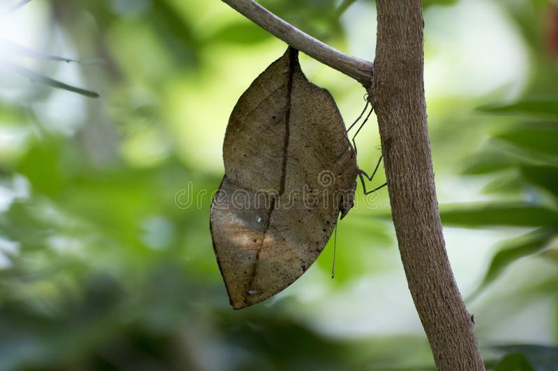 Orange oakleaf mimetic butterfly royalty free stock photography