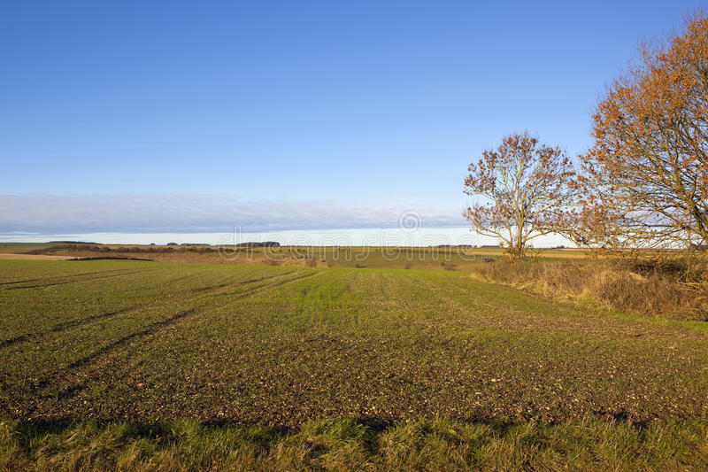 Orange oaks in autumn. With grass verge and young wheat crops in a yorkshire wolds landscape under a blue sky with a layer of cloud stock photography