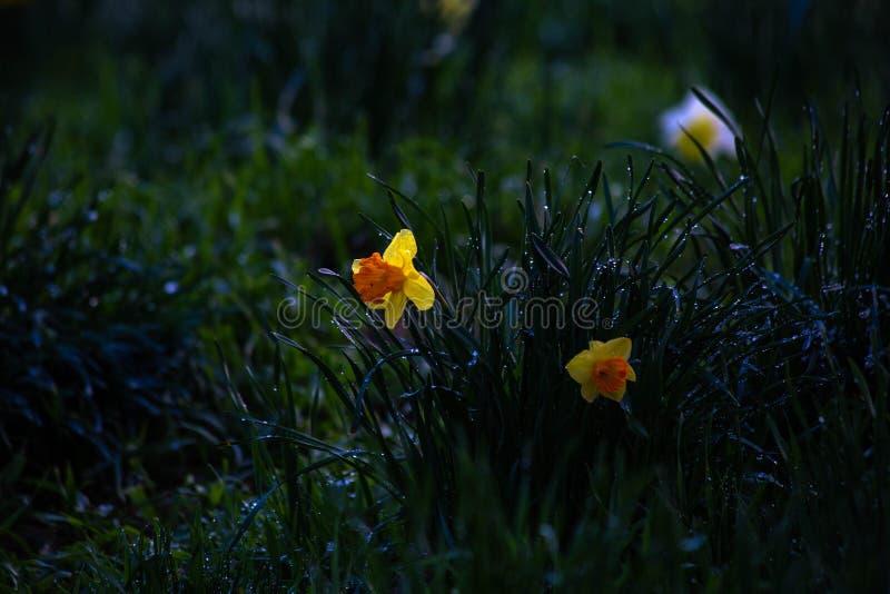 Orange och gula påskliljor efter April Showers arkivbild