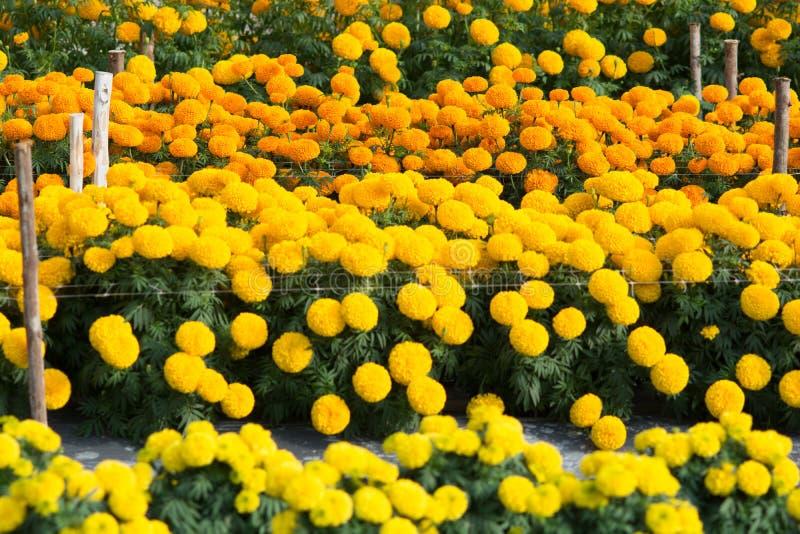 Orange och gula ringblommor blommar fält arkivbild