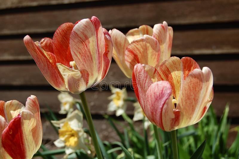 Orange och gula tulpan för persika, i blom royaltyfri bild