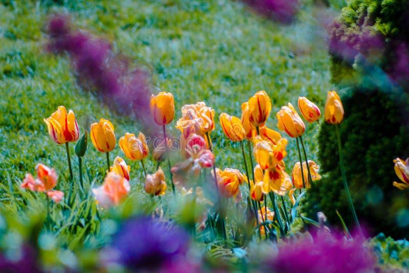 Orange och gula tulpan i blom i Holland Michigan arkivfoton