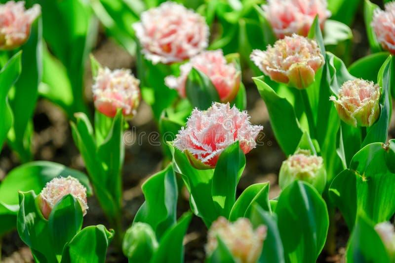 Orange och gula tulpan - satte fransar på tulpan Tulipa Queensland ', royaltyfri fotografi