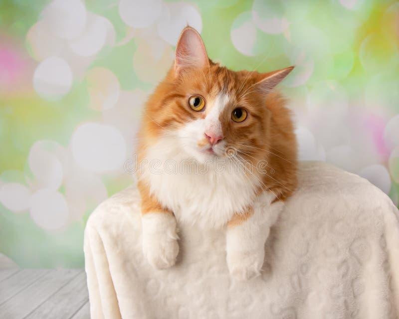 Orange och vita Cat Lying Down Looking till vänstersida royaltyfria bilder