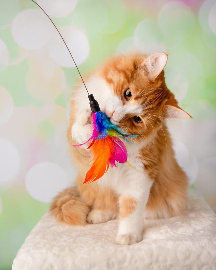 Orange och vita Cat Playing med en fjäderleksak royaltyfria foton