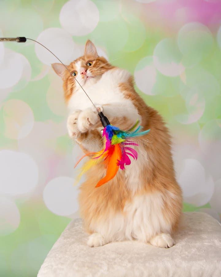 Orange och vita Cat Standing på Hind Legs Playing With Feather arkivbilder