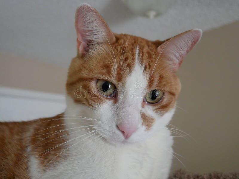 Orange och vitt kattslut upp royaltyfri fotografi