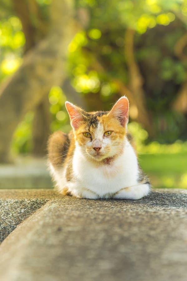 Orange och vitt liggande stirra för strimmig kattkatt på linsen royaltyfria bilder