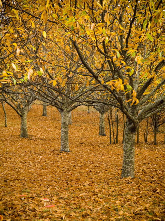 Orange Orchard. Orchards lose their leaves in a spectacular display of autumn colours near Daylesford, Victoria stock images