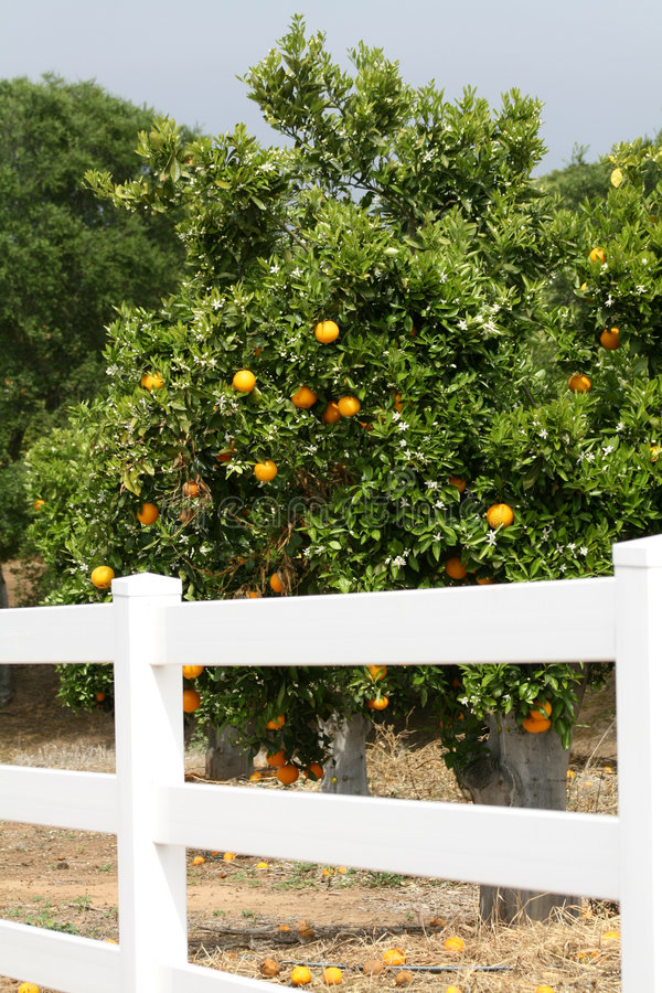 Free Orange Orchard Stock Image - 2681441