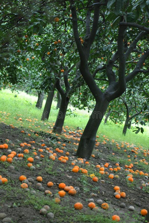 Orange orchard royalty free stock photos