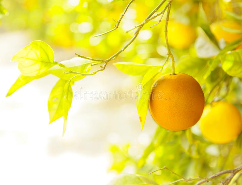 Download Orange orchard. stock photo. Image of green, citrus - 115829822