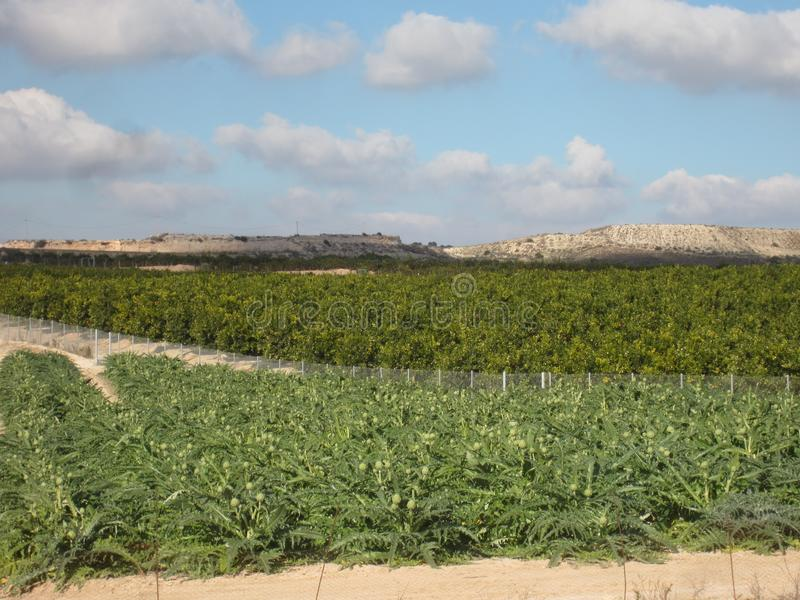 Orange Orchard Grove. Orange Orchard or Grove in Murcia and Alicante area of Spain stock images