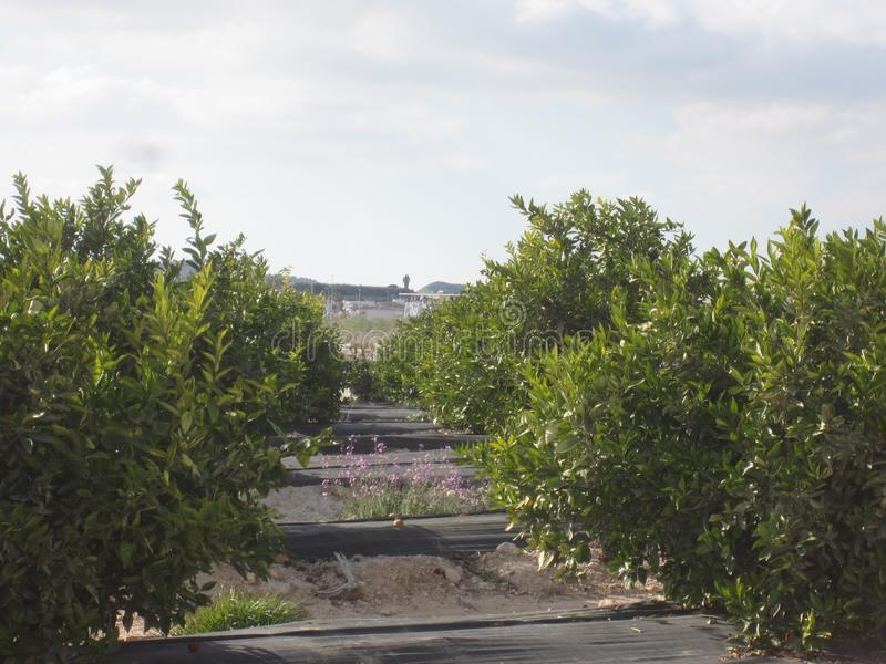 Orange Orchard Grove. Orange Orchard or Grove in Murcia and Alicante area of Spain royalty free stock photos